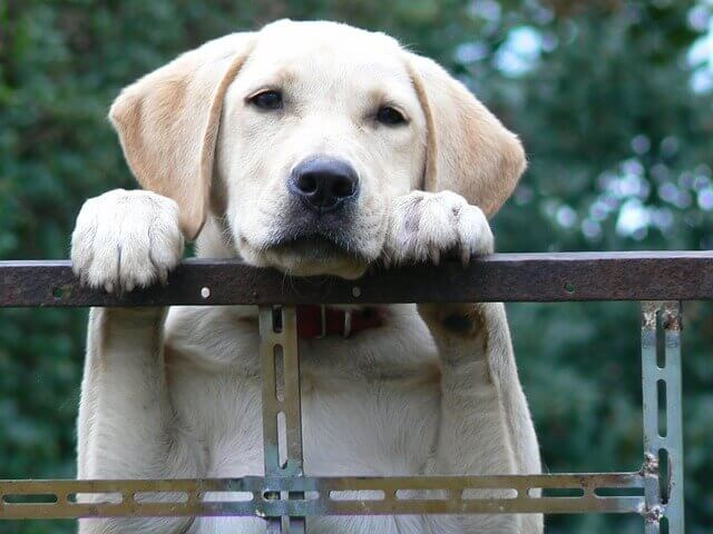 Labrador Separation Anxiety- 5 steps to handle it,labrador separation anxiety