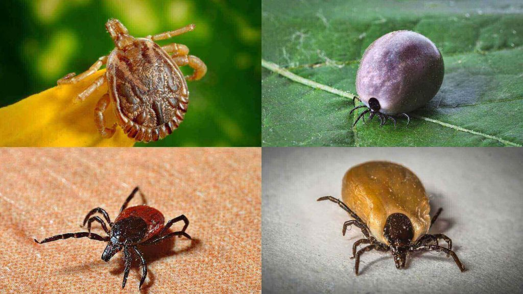 Labrador Ticks,What does a Tick look like