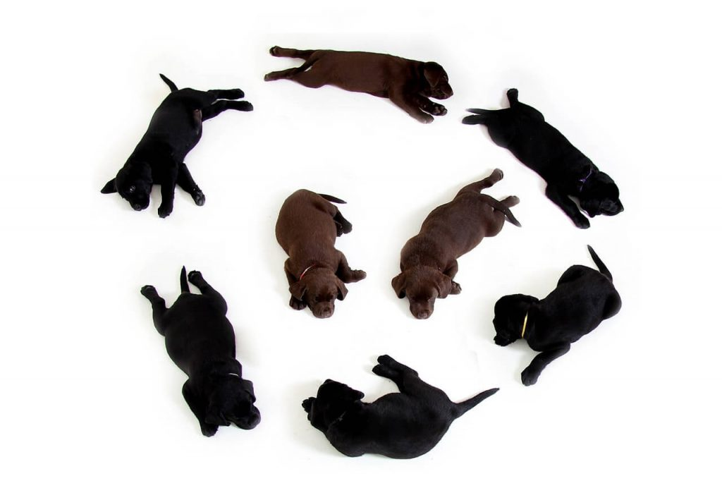 Labrador training tips,Start training at a young age