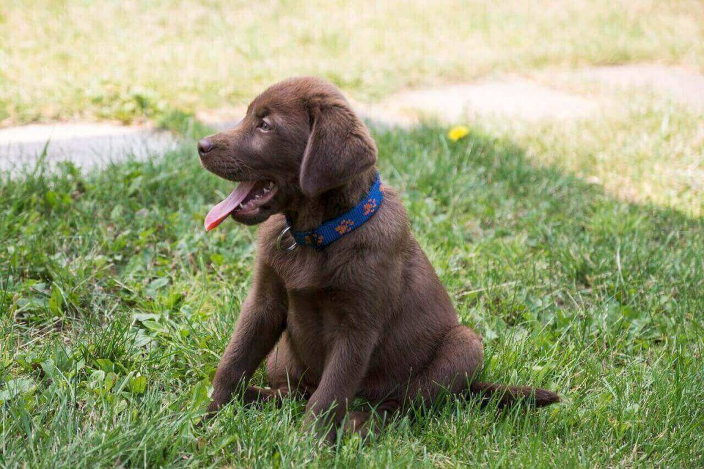 Chocolate lab with White spot on tail,Mismarked Lab,Is a Mismarked lab Purebred