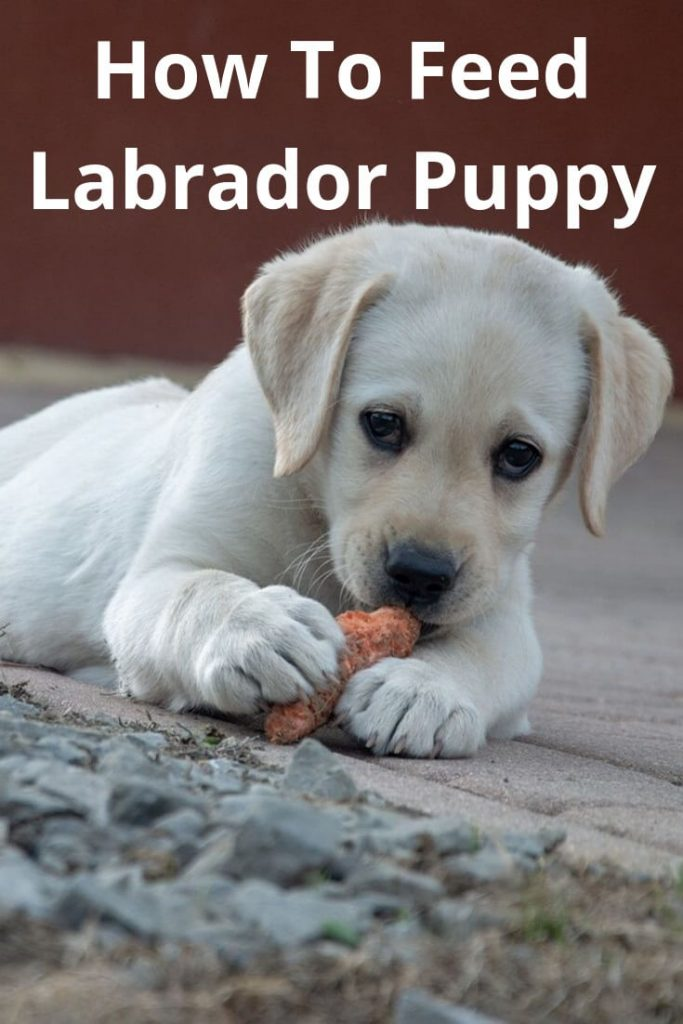 How To Feed Labrador Puppy