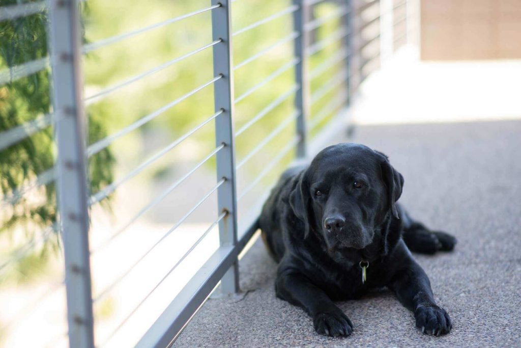 Preventing Labrador elbow callus