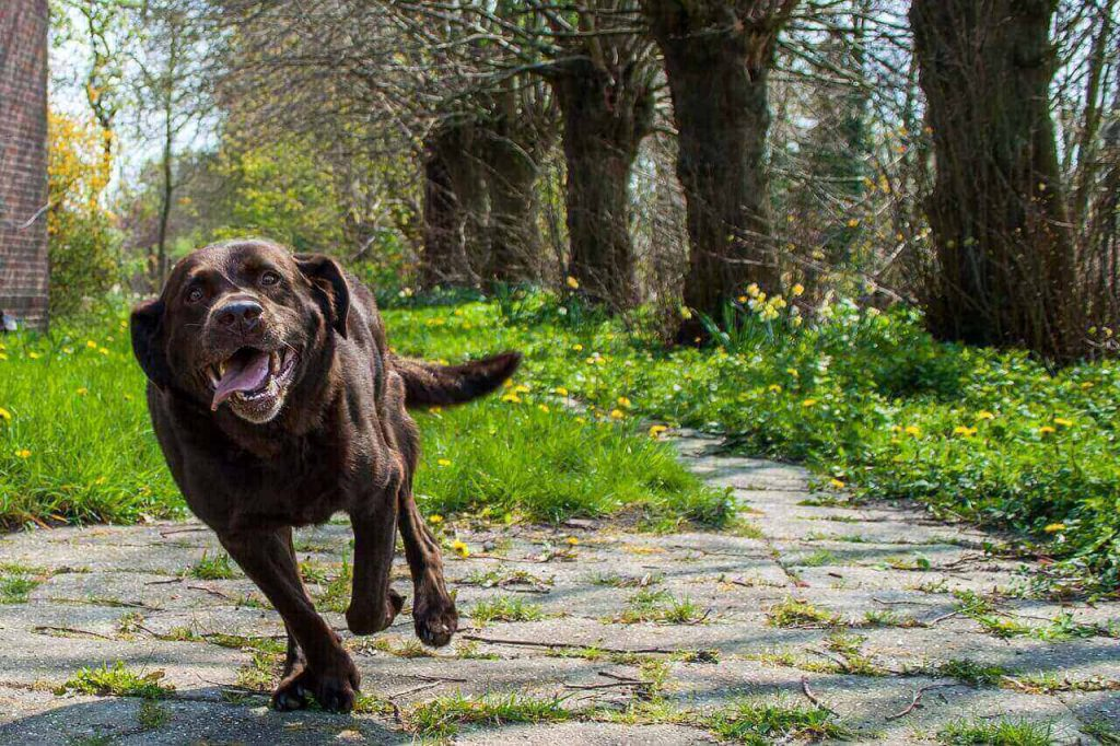 Labrador anxiety- Proven steps to handle it,labrador anxiety,separation anxiety