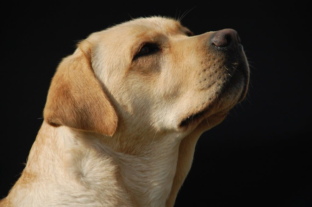 Labrador characteristics- 7 things you should know