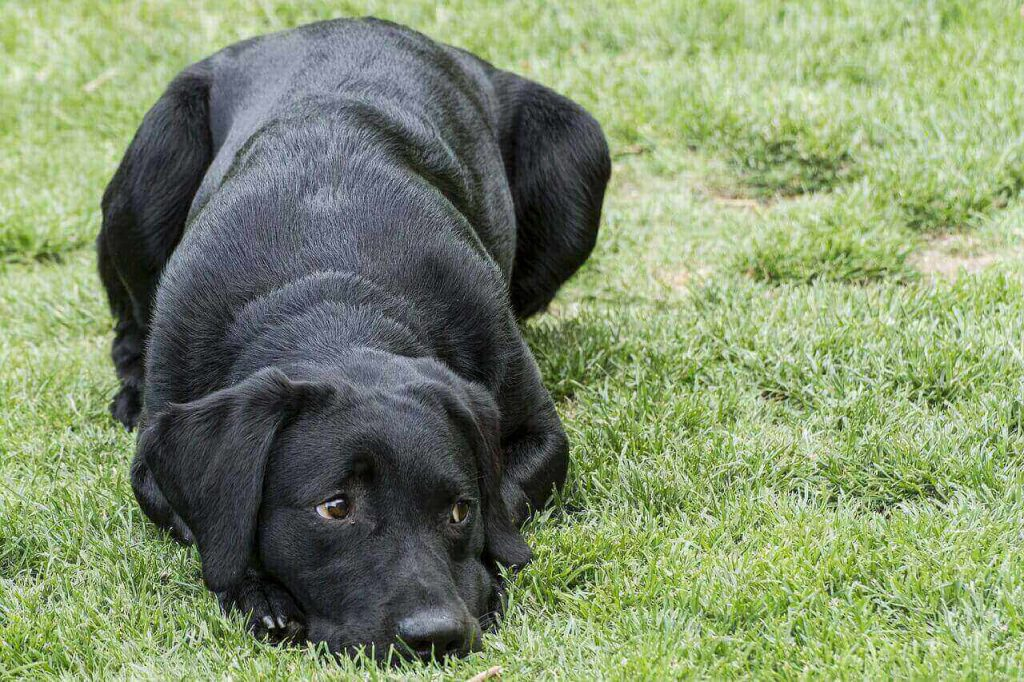 How to Potty train a Lab puppy without a Crate,Labrador puppy Potty training tips