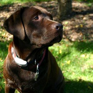 Chocolate lab with White spot on tail,Mismarked Lab