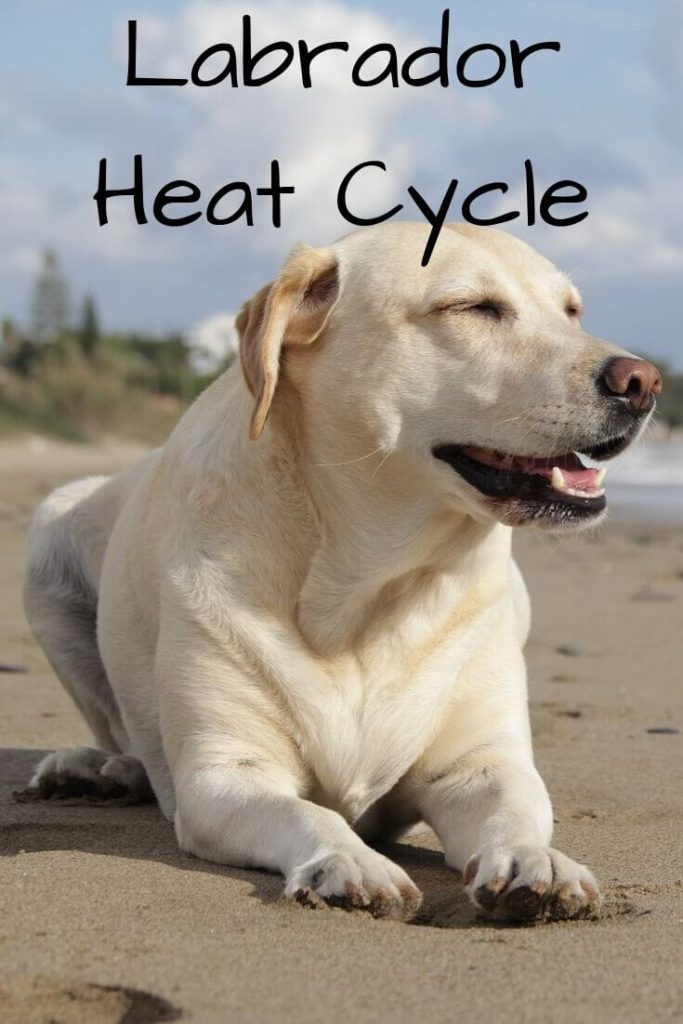 Labrador Heat Cycle- The Complete Guide