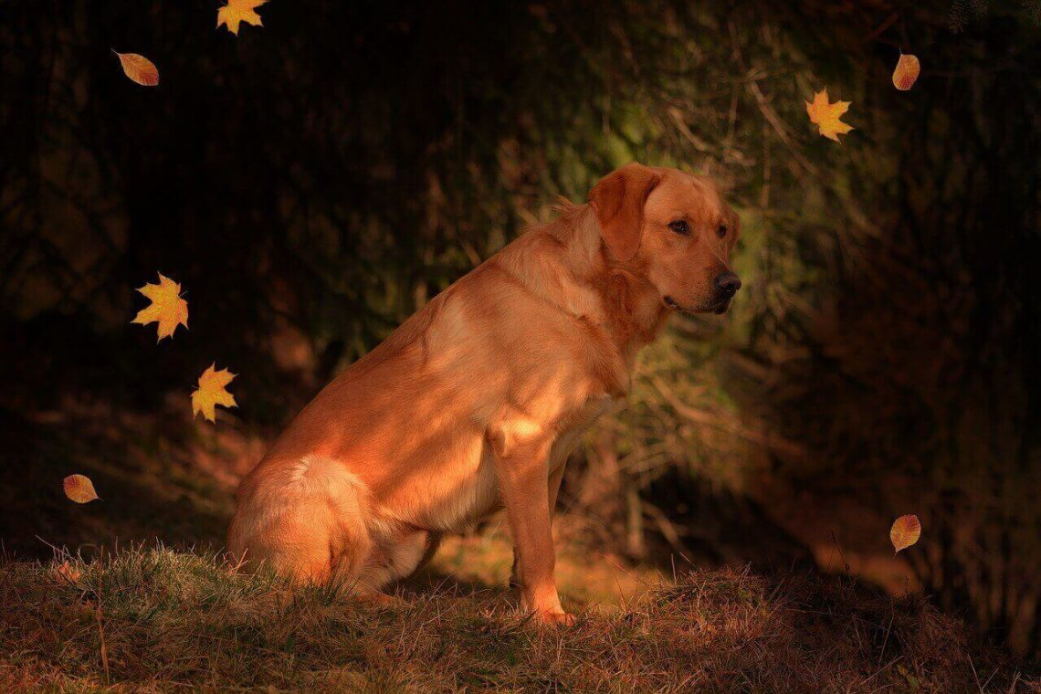 Fox Red Labrador- Amazing facts about the Fox Red Lab
