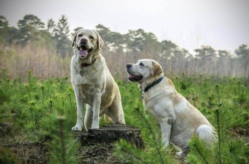 difference between Labrador and Labrador Retriever