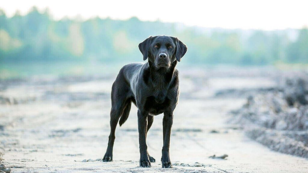 Difference Between English and American Labs, American Labrador