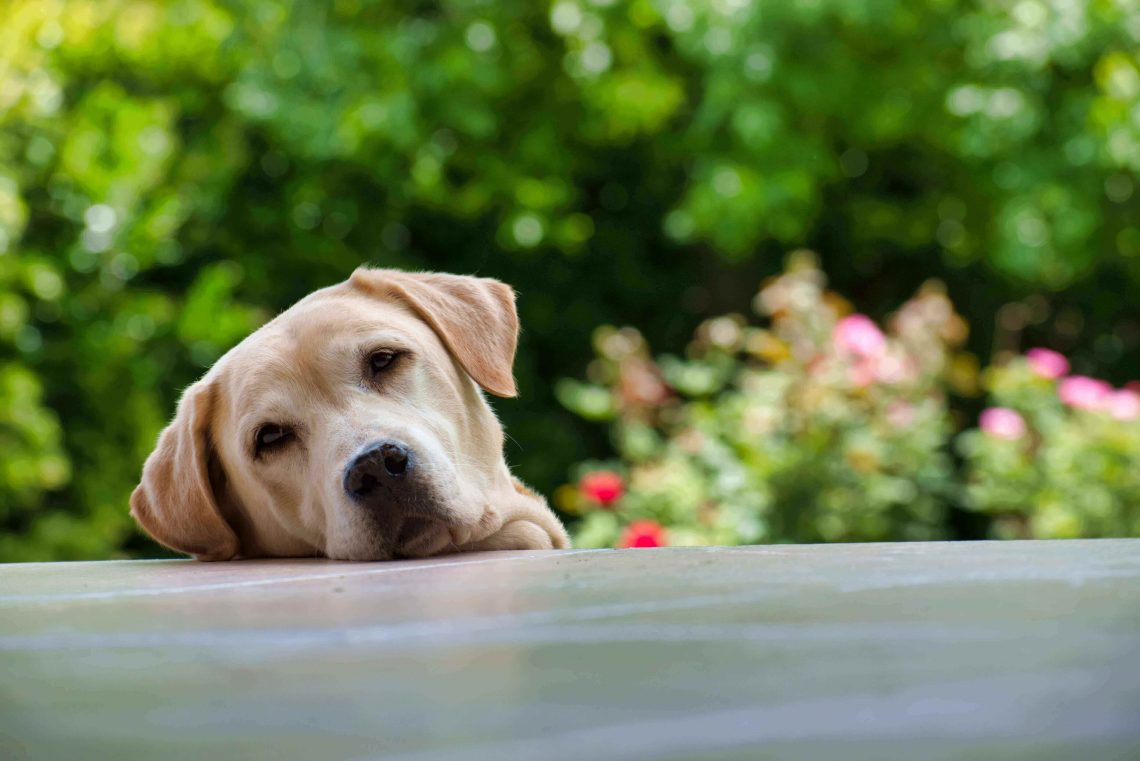 When Do Labs Calm Down?- At What Age?