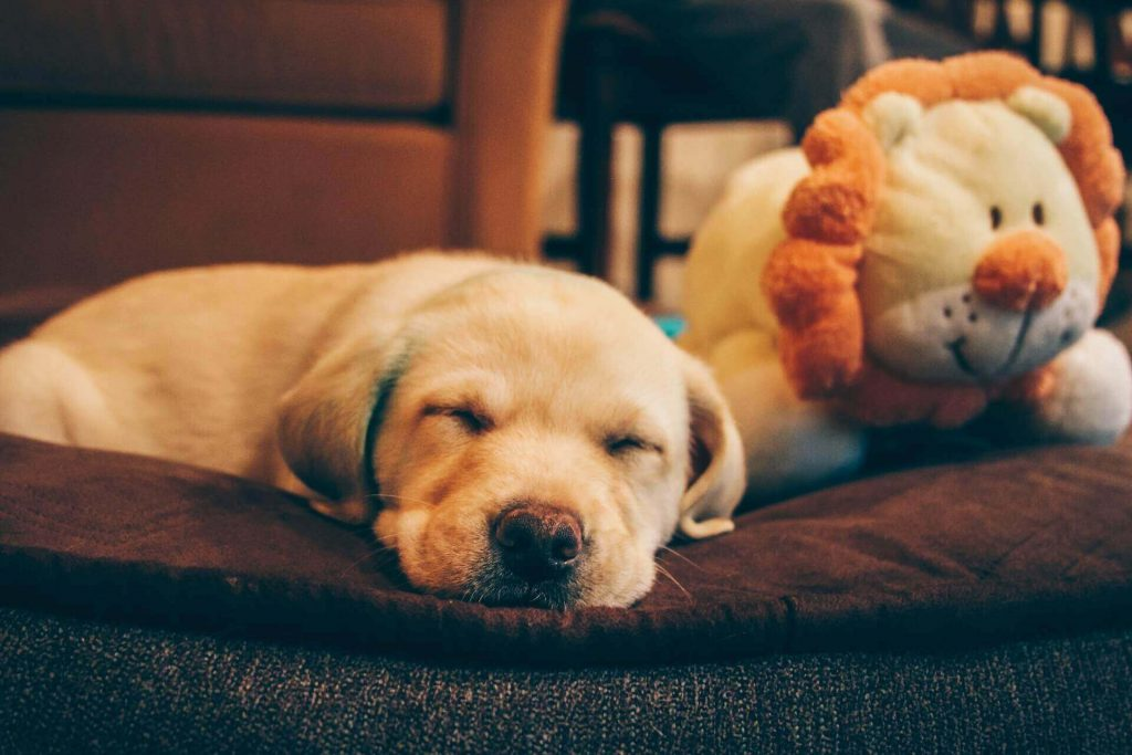 Top 25 Yellow Lab Names – For Your Yellow Labrador
