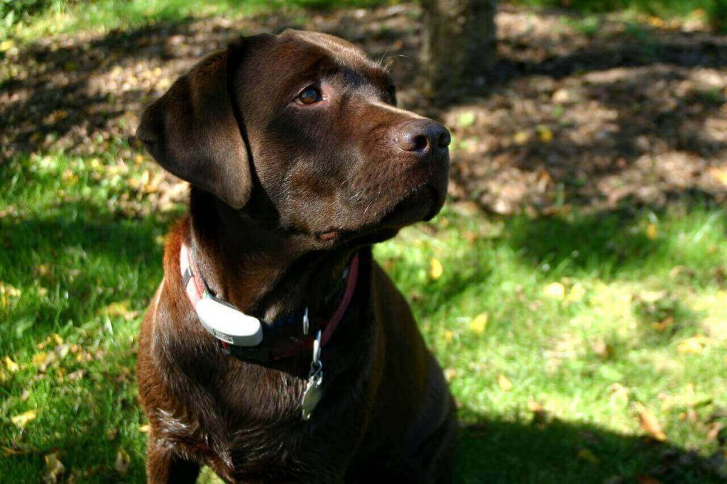 Top 25 Chocolate Lab names – For Your Chocolate Labrador