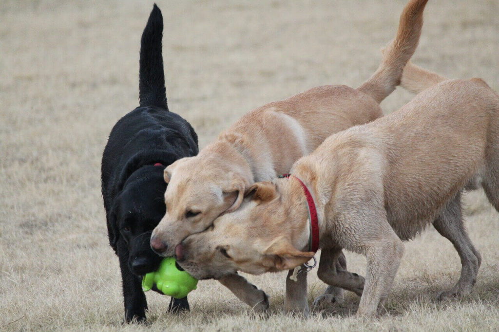 Are Labs good with kids